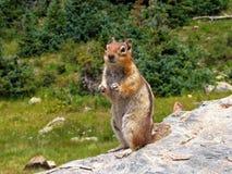 Petit Chipmunk Photo libre de droits