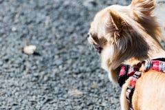 Petit chiwawa mignon sur une promenade sur une avance Photos stock