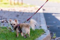 Petit chiwawa mignon sur une promenade sur une avance Image stock