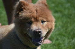 Petit Chow Puppy Up Close fraîchement rasé photos libres de droits