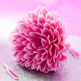 Petit chrysanthemum Images stock