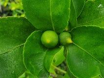 Petit citron ou chaux cresting avec la feuille dans un jardin image stock