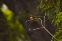 Petit colibri été perché sur une branche photographie stock
