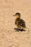 Petit colvert ou canard sauvage photo stock