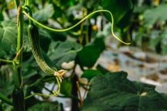 Petit concombre avec la fleur jaune de la fin Photos libres de droits