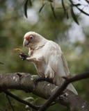 Petit corella alimentant dans un arbre Image libre de droits