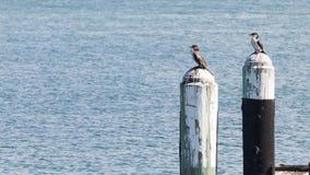 Petit cormoran deux coloré Photos libres de droits