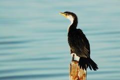 Petit cormoran pie sur le courrier Image stock