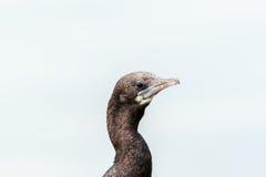 Petit Cormorant Images libres de droits