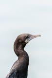 Petit Cormorant Photographie stock