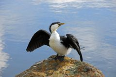 Petit Cormorant pie Images stock