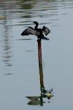 Petit Cormorant sur sécher vers le haut photographie stock
