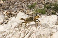 Petit crabe Image stock