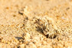 Petit crabe au trou sur la plage Image stock