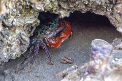 Petit crabe de palétuvier avec les griffes rouges Photographie stock libre de droits