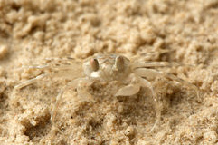 Petit crabe de sable Photos stock