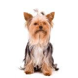 Petit crabot - chien terrier de Yorkshire Images libres de droits
