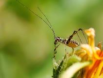 Petit cricket Photos stock
