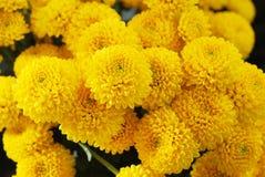 Petit crysanthemum jaune Jardinage, botanique, floristry, texture et concept de flore - les beaux chrysanthèmes fleurit Photographie stock