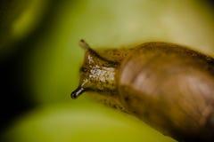 Petit déplacement d'escargot Photographie stock libre de droits