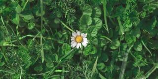 Petit daisie blanc minuscule dans la vue supérieure du pré photo stock