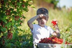 Petit enfant drôle prenant les groseilles rouges du buisson de groseille dans un jardin Photos stock