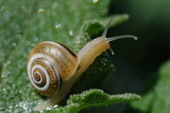 Petit escargot Photographie stock libre de droits