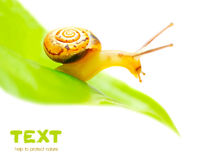 Petit escargot Images stock
