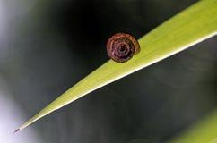 Petit escargot au-dessus d'une longue feuille Image stock