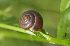 Petit escargot brun Images stock