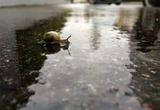 Petit escargot croisant les trottoirs un jour pluvieux Photographie stock libre de droits