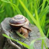 Petit escargot dans l'herbe photos stock
