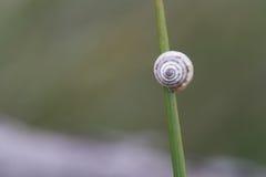 Petit escargot dans un fil d'herbe verte Photo libre de droits