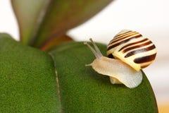 Petit escargot de plantation sur la lame verte Photographie stock