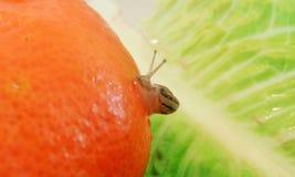 Petit escargot en beauté orange et mondes verts voyageant avec sa propre maison Photographie stock