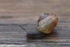 Petit escargot glissant sur le bois Photos libres de droits
