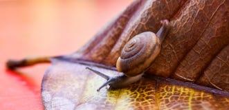 Petit escargot sur la feuille photographie stock