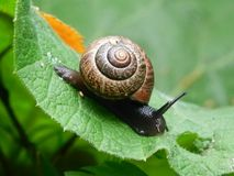 Petit escargot sur la feuille verte Image libre de droits