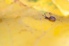 Petit escargot sur le congé d'automne jaune Photographie stock