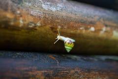 Petit escargot sur le vieux bambou Image stock