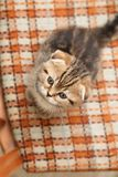 Petit et beau chaton tigré d'intérieur Images libres de droits