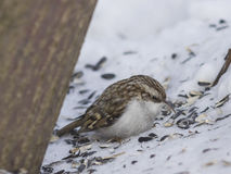 Petit Eurasien ou terrain communal Treecreeper, familiaris de Certhia, portrait en gros plan d'oiseau sur la neige sous l'arbre Photo stock