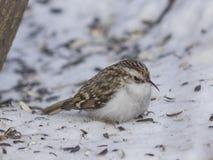 Petit Eurasien ou terrain communal Treecreeper, familiaris de Certhia, portrait en gros plan d'oiseau sur la neige sous l'arbre Photos stock
