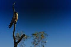Petit faucon Images stock