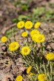 Petit foalfoot de coltsfoot de fleurs, fleurs tôt de ressort sans feuilles photographie stock