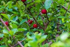 Petit fruit de cerise d'Acerola sur l'arbre La cerise d'Acerola est haute vitamine C et fruits antioxydants Foyer sélectif photo libre de droits