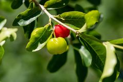 Petit fruit de cerise d'Acerola sur l'arbre La cerise d'Acerola est haute vitamine C et fruits antioxydants Foyer sélectif photos stock