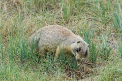 Petit Fuzzy Prairie Dog Peeking In à un terrier potentiel image libre de droits