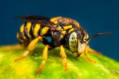 Petit gaffez l'abeille Photo stock