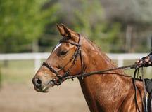 Petit galop sautant de race de cheval coloré par châtaigne sur le parc d'expositions Photos stock
